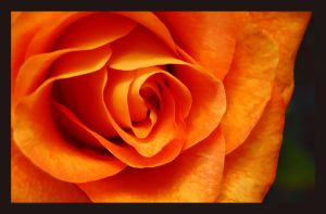 Orange Roses II by xTwisTx