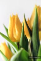 Tulips 2 by Leconte