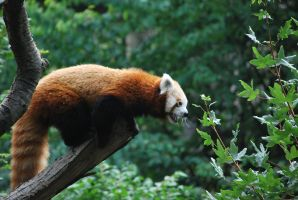red panda 1.16 by meihua-stock