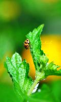 Lady.Bug ll by lOolah