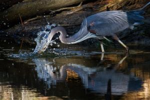 Fishing Great Heron by bovey-photo