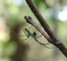 Orchard Spider by Idolomantis