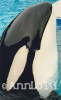Tokitae the killer whale by annlo13