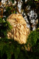 Ural Owl - Snooze by Shadow-and-Flame-86