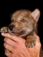 Wolf Puppy by Lupinicious