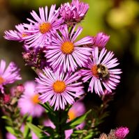 New England Aster by Ragnar949