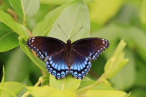 Red-spotted Purple 3 by Gerryanimator
