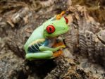 Red-eyed Tree Frog by BodyModifier