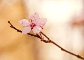 Sakura.0059 by SenZen