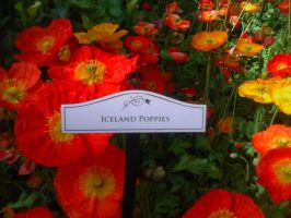 Iceland Poppies by LeCoeurDeLArgent