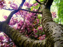Cherry Blossoms by Jeaux-Latham