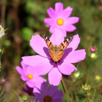 15. Butterfly on Cosmos by African-Amber