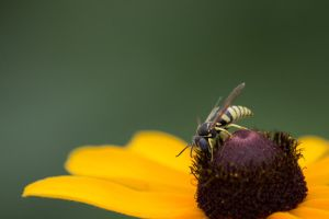 Paper Wasp by myekeh