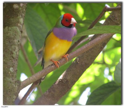 Lady Gouldian Finch by Sgnappy