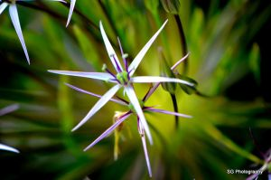 Persian Onion Flower by samg1994
