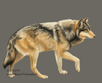 Just a wolf by Chippie18