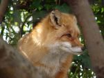 Red Fox by pcoppolo46