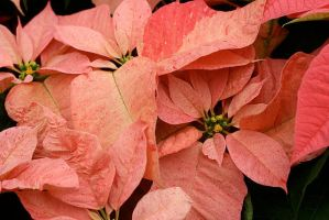 Pink poinsettia by kashll