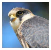 Red-footed falcon. by Evey-Eyes