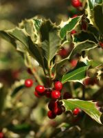 Holly 10 by botanystock