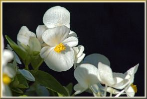 White Begonias by TThealer56
