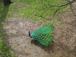 Male Peacock. by Sparkle-Photography