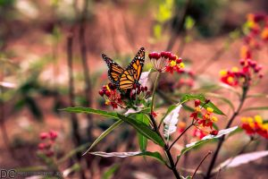My favorite Butterfly by DGPhotographyjax
