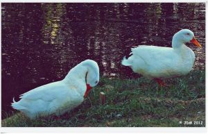 White Ducks by JDM4CHRIST