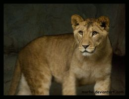 young lioness by morho