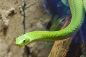 East African Green Mamba 10 by ManitouWolf
