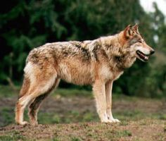 Red Wolf by SolStock