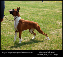 -Boxer- :Stock: by SRS-Photography