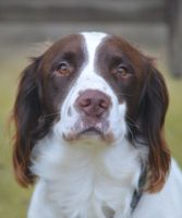 BarleyCourt Sweet Pea - English Springer Spaniel by Just--Saying
