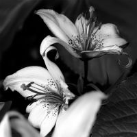 BW Lily Duo by andras120