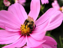 Cosmos with Bee 2 by loopyker-stock