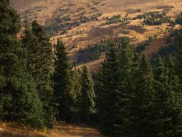 mountain pine trees by fotophi