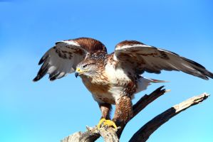 Ferruginous Hawk 7160 by mammothhunter