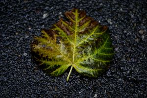 leaf by CatchMePictures
