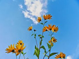 Girasoles reaching for the blue skies by Paul774