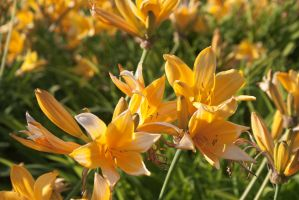 Sea of Lilies by linderel