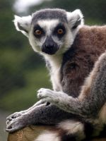 Ring tail lemur by FreakshowFenner
