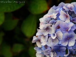 Hortensia by MorganeS-Photographe