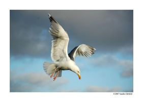 Norwegian gull by grugster