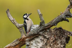 Great Spotted Woodpecker by linneaphoto