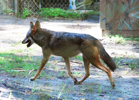 Red Wolf by CompassLogicStock
