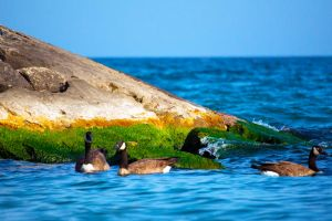 East Point Park Geese Swimming by WilliamPeterLee