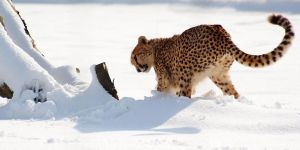 Pouncing on Snow by Yslen