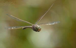 Dragonfly in flight 01 by 88-Lawstock