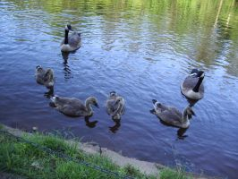 Baby Geese by Sharulia