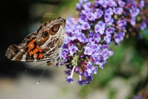 painted lady IV by Enchanted-Apple